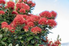Early morning Pohutukawa flowers in New Zealand stock images