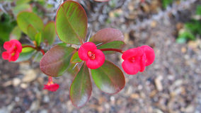 Red Flowers Of Crown Of Thorns, Christ Plant, Christ Thorn, Spain Stock Image