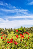 Red flowers and olive tree at spring. In a Tuscan landscape the red poppies adorn fields with olive trees that produce an oil among the best in the world Royalty Free Stock Images