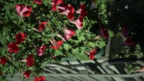 Red flowers outdoors. In a city garden stock video