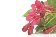 Red flowers over white stock photography
