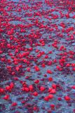 Red Flowers on Path. Red flowers fall on a concrete footpath Royalty Free Stock Image
