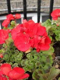 Red flowers Pelargonium × hortorum Stock Photography