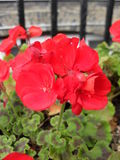 Red flowers Pelargonium × hortorum Royalty Free Stock Images