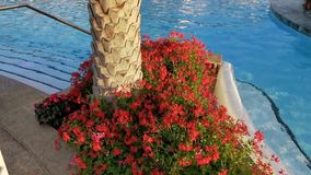 Red flowers pelargonium peltatum at the edge of the pool. At the base of the palm tree. Geranium flowers stock footage