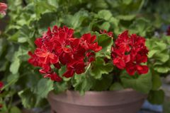 Pelargonium zonale in a flower pot. Red flowers of Pelargonium zonale in a flower pot stock image