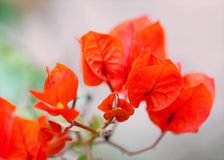 Red Flowers Photo Stock Image