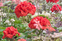 Red Flowers. Picture of a bed of flowers taken in Cornwall England Stock Photo