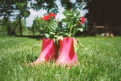 Red flowers in pink rubber boots in the grass, ingenious idea for the garden ,decoration stock images
