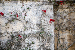 Red flowers. Plant with red flowers climbing a wall in Medina, Malta Royalty Free Stock Image