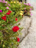 Red flowers in plant pots on cement floors stock photography