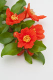 Red flowers of pomegranate. On white background Stock Images
