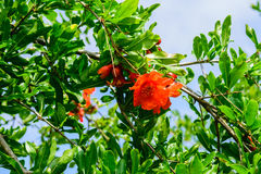 Red flowers of pomegranate Stock Photography
