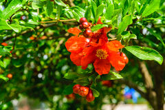 Red flowers of pomegranate Stock Photo