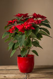 Red flowers in a pot Royalty Free Stock Photos