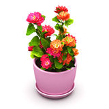 Red flowers in pot Stock Image