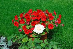 Red flowers in a pot are exposed on a lawn with grass royalty free stock photo