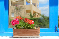 Red flowers in pot Royalty Free Stock Image