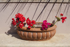 Red flowers in a pot Stock Photo