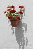 Red flowers in pot on wall Royalty Free Stock Photography