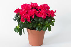 Red flowers in a pot Royalty Free Stock Image