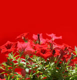 Red flowers on red background. Morning open home flowers Stock Images