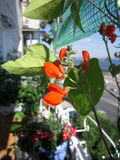 Red flowers of runner bean in greening the balcony.  Stock Photography