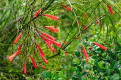 Red flowers or Russelia equisetiformis Schldl. royalty free stock photography