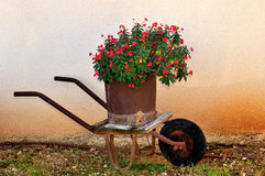 Red flowers in a rusty wheelbarrow Royalty Free Stock Images