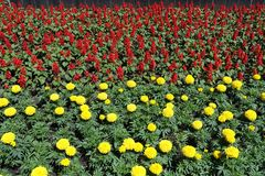 Red flowers of sage and yellow flowerheads of marigolds. Red flowers of sage and yellow flower heads of marigolds royalty free stock photography