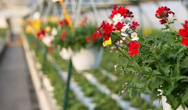 Red flowers for sale in the greenhouse in spring Stock Image