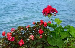 Red Geranium Flowers on the Beach. Red flowers on a sea background royalty free stock photos