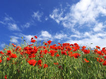 Red flowers and sky Stock Photos