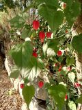 Red flowers. Small Red flowers with big leaves decorating a stone wall royalty free stock images