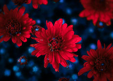 Red flowers. With some water drops Royalty Free Stock Images