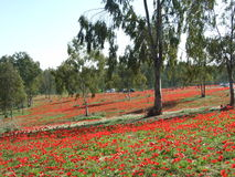 Red flowers in southern israel royalty free stock photography