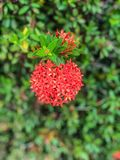 Red flowers spike flowers beautiful flower. Spike flower red in nature Common Name Ixora coccinea, Rubiaceae stock photo