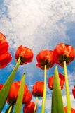 Red flowers spring. Colourful red and green tulips flowers against blue summer sky, natural background Stock Photos