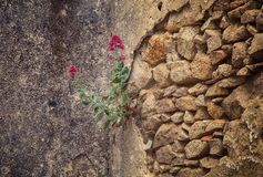 Red flowers in the stones and rock. Portugal Stock Images