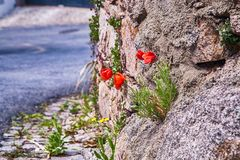 Red flowers in the stones and rock. Portugal Stock Image