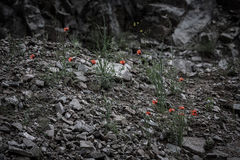 Red flowers among the stones. Toned. Black-white Royalty Free Stock Photos