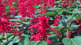 Red flowers on the street. Outdoor stock footage
