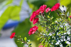 Red flowers in summer time Stock Image