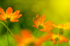 Red flowers in the sunlight. Flowers of the Cosmos in the Garden. Selective soft focus. Red flowers in the sunlight. Flowers of the Cosmos in the Garden Royalty Free Stock Image