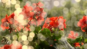 Red flowers in sunrise stock video footage