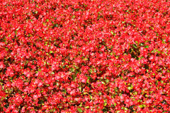 Red flowers texture Stock Photo
