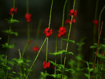 Red flowers. And their green sleeves Royalty Free Stock Photo