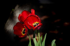 Red flowers, three spring tulips with dark background, Flowers concept. Royalty Free Stock Photo