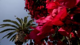 Red Flowers on a Tree stock footage