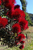 Red flowers on a tree in a field. Pohutukawa red flowers on a tree in a field Royalty Free Stock Photography